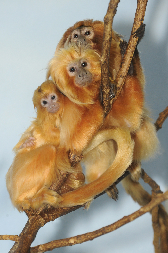 _Julie Larsen Maher 9742 Golden Lion Tamarin and Baby PPZ 09 01 11