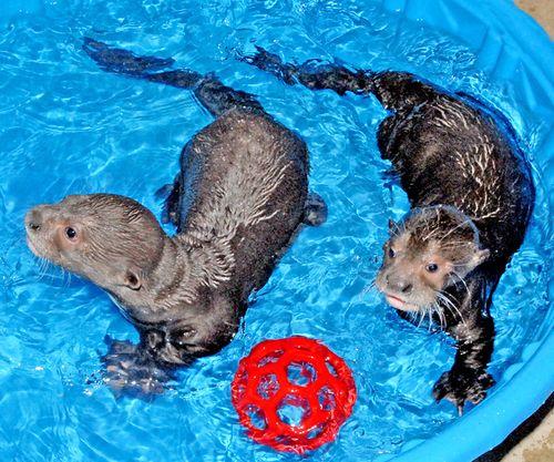 Giant-Otter-Pups-in-Pool-3-16-11-_Tad-Motoyama-3852