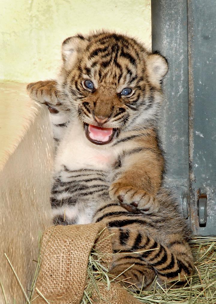 8-26-11-Sumatran-Tiger-Cub_Tad-Motoyama-2460