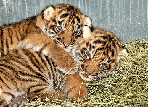 Two-Sumatran-Tiger-Cubs-8-26-11_Tad-Motoyama-2449