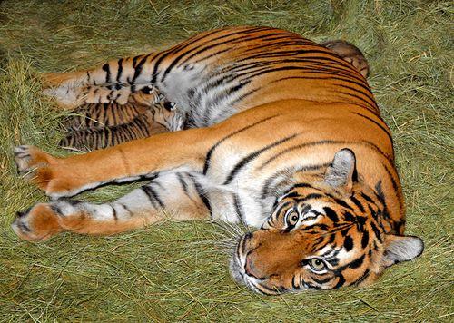 Sumatran-Tiger--Lulu-Nursing-8-13-11_Tad-Motoyama-1543