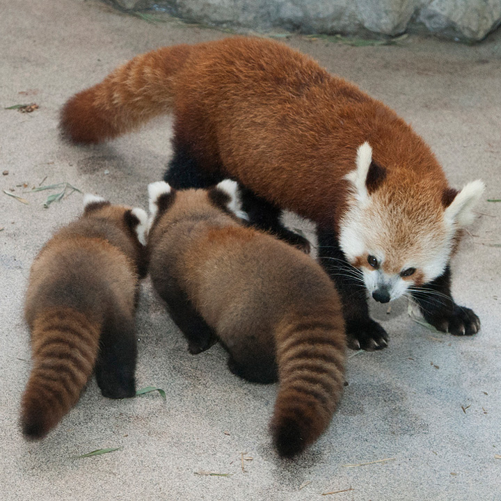 National-Zoo-Red-Panda-Cubs-2