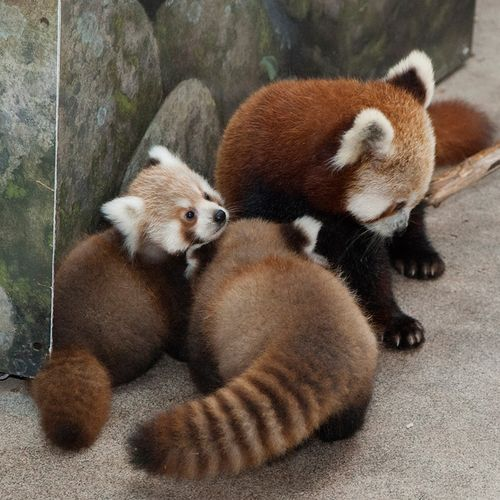 National-Zoo-Red-Panda-Cubs-5
