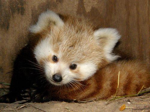 Red_Panda_4
