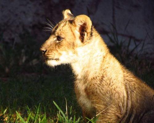 092711_tucson-zoo-lion-cubs+(6)