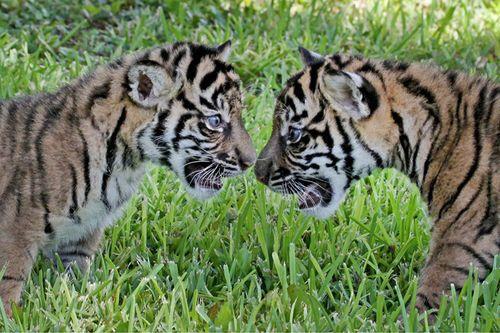 Tiger_Cubs4