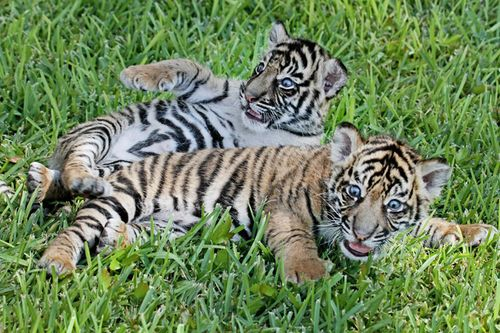 Tiger_Cubs5