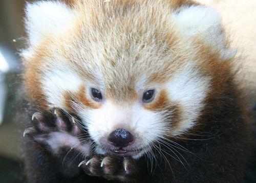 Red-Pandas-FPZ-4