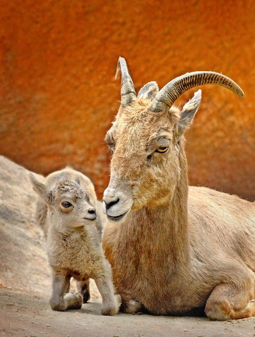 Big-Horn-Sheep-Mom-&-Baby-4-2-11_Tad-Motoyama-1669
