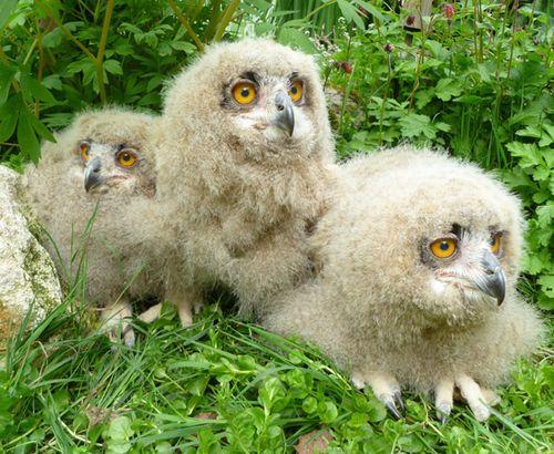 Turkmenian-Eagle-Owlets-4-weeks-old