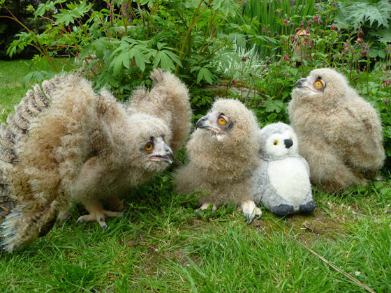 4-week-old-Turkmenian-Eagle-Owlets