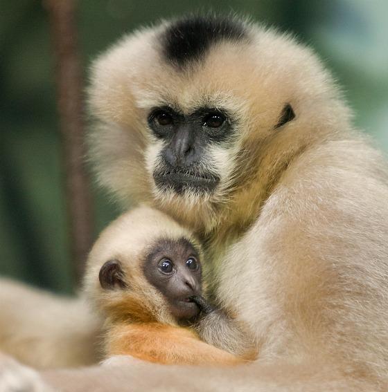 Gibbon baby at Lincoln Park Zoo by John Kortas