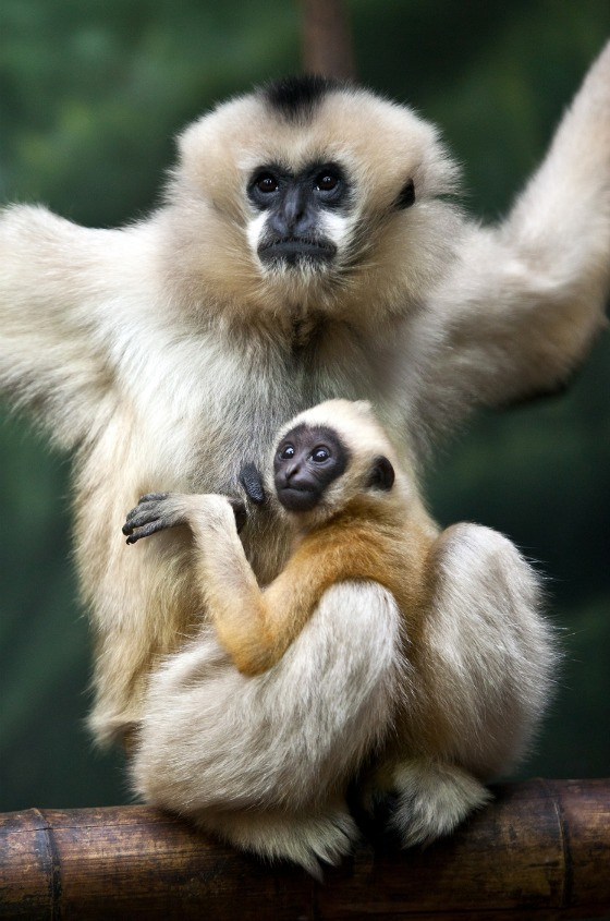 Gibbon baby at Lincoln Park Zoo by John Kortas 2