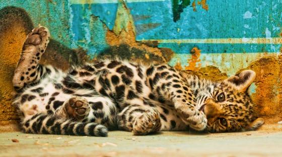 Jaguar Cub at Bratislava Zoo by Emmanuel Keller 6
