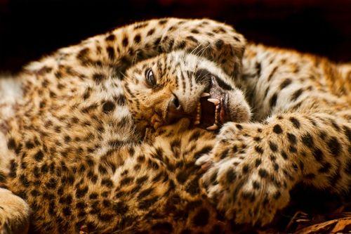 Jaguar Cub at Bratislava Zoo by Emmanuel Keller 2