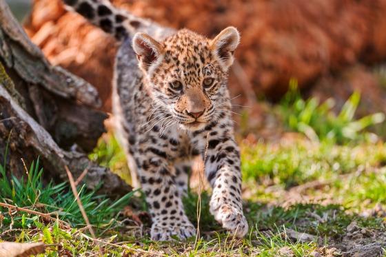 Jaguar Cub at Bratislava Zoo by Emmanuel Keller 3
