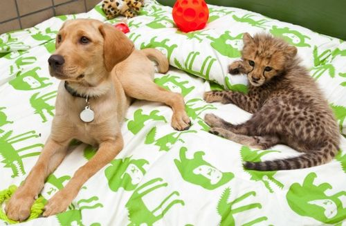 Cheetah and puppy at busch gardens 3