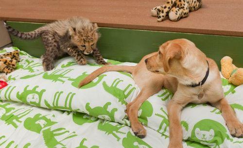 Cheetah and puppy at busch gardens 4