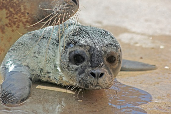 Harbor Seal Pup at Albuquerque Zoo 1