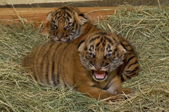 San-Diego-Zoo-Malayan-Tiger-Cubs-3