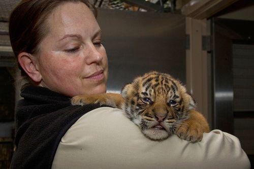 San-Diego-Zoo-Malayan-Tiger-Cubs-2