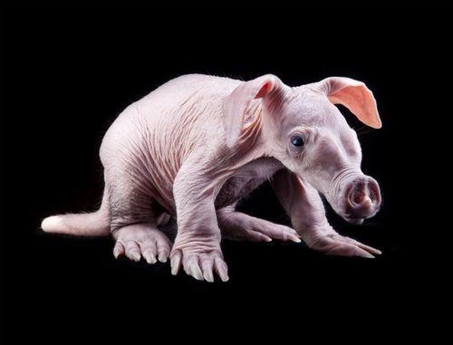 Baby aardvark at Busch Gardens 2