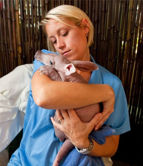 Baby aardvark at Busch Gardens 1