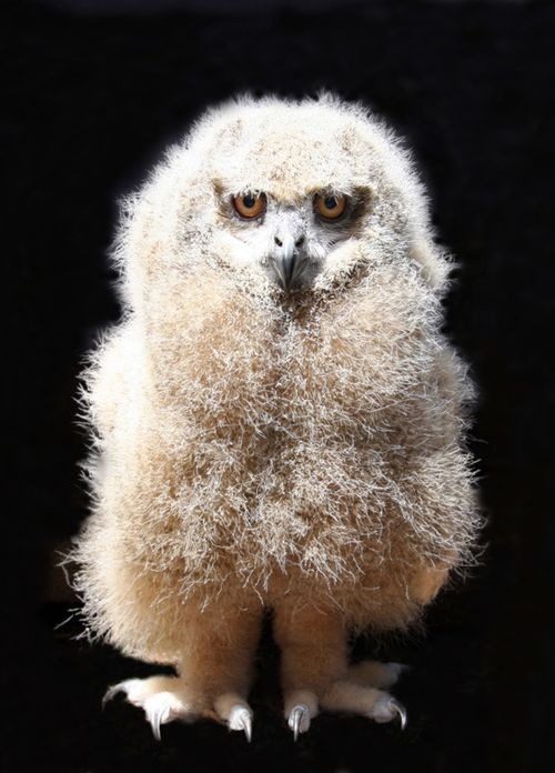 CINCINNATI EAGLE OWL 4