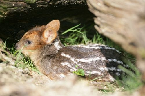 Pequeño, the Southern pudu baby at Belfast Zoo 3