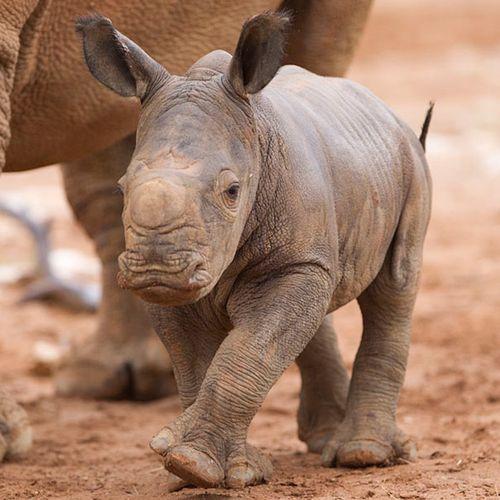Monarto-Rhino-3