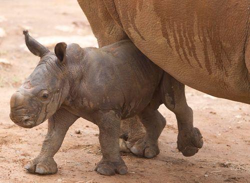 Monarto-Rhino-7