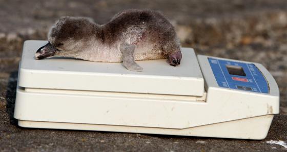 Baby-penguin.1-560