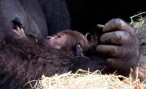 Gorilla_kudzoo_baby_051011_ZA_6190.jpg---1crop