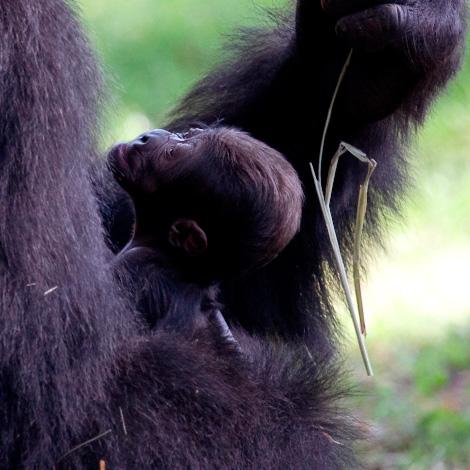 Gorilla_kudzoo_baby_051011_ZA_6154.jpg---1.jpg--