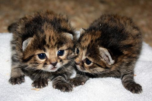 Cleveland-black-footed-kittens-2