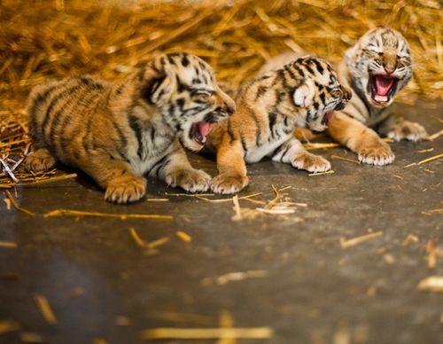 Rosamund-Gifford-Tiger-Triplets-1