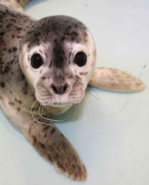 Gouda the Seal Alaska SeaLife Center