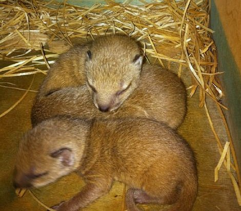 Yellow Mongoose Pups Durrell 4
