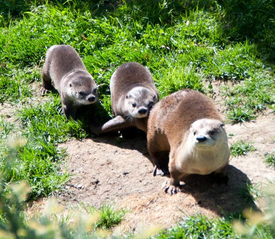 Oakland-Otter-Pups-9