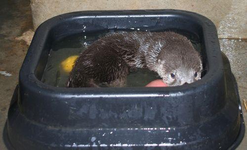 Oakland-Otter-Pups-7