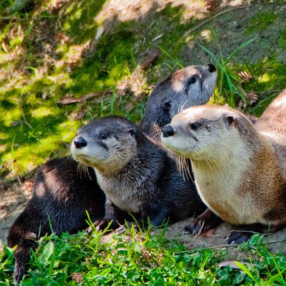 Oakland-Otter-Pups-5
