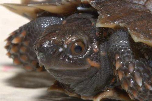 Spinosa turtle web 1