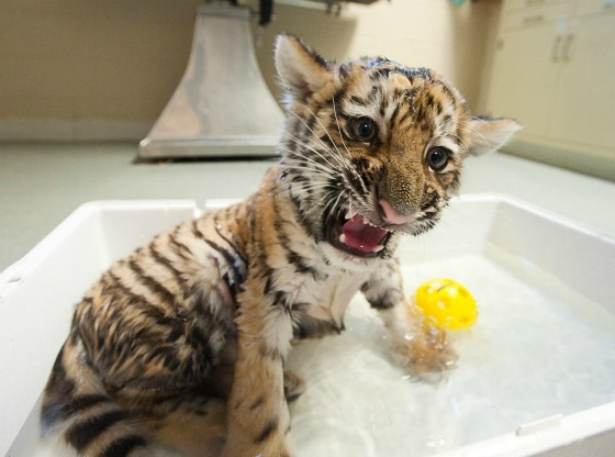 Tiger Cub Splashing at Pittsburgh Zoo 2