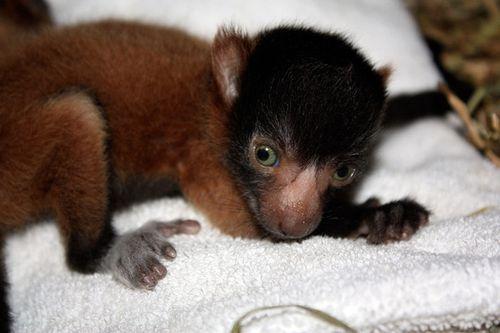 Cleveland-red-ruffed-lemurs-5
