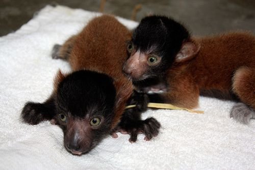 Cleveland-red-ruffed-lemurs-1
