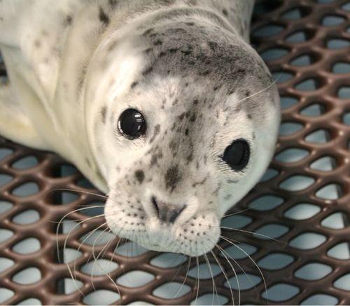Merlot the baby seal pup at Alaska SeaLife Center 1