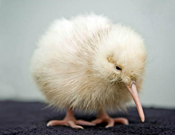 Rare White Kiwi New Zealand