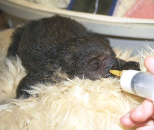 Baby-sloth-being-fed---small