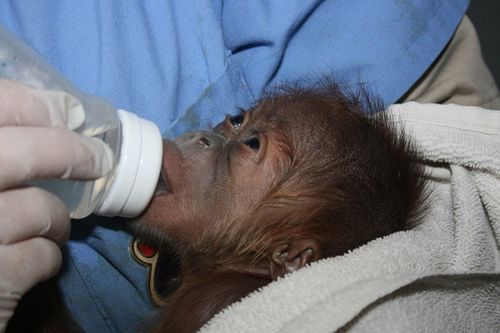 Sedgwick_county_zoo_orangutan-2