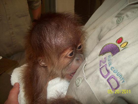 Sedgwick_county_zoo_orangutan-3
